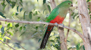 King Parrot - female