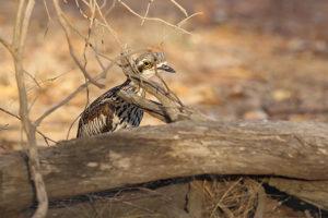 Bush Stone-curlew © Chris Tzaros