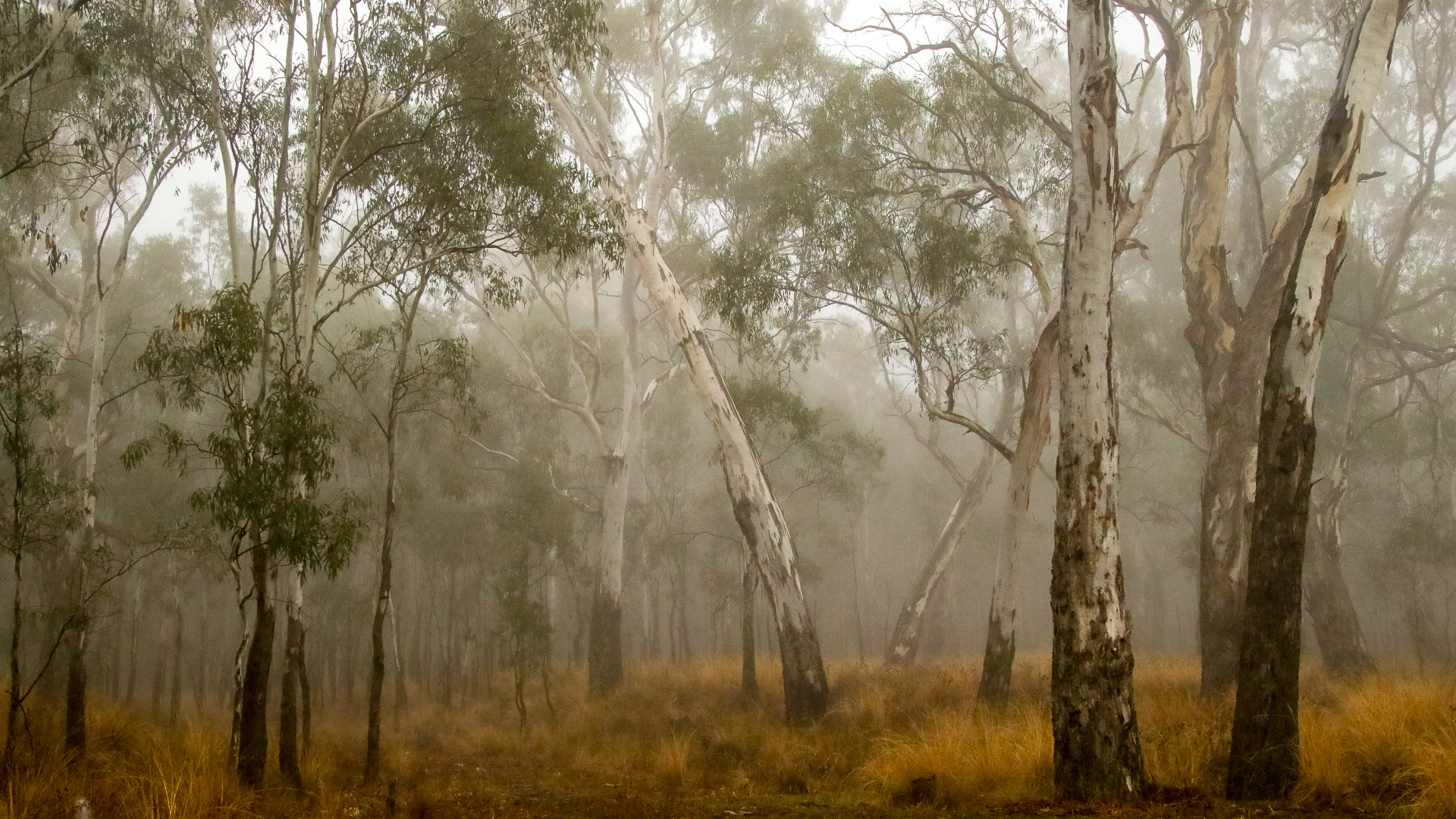 River Red Gum Forest in Fog © Kelly Coleman