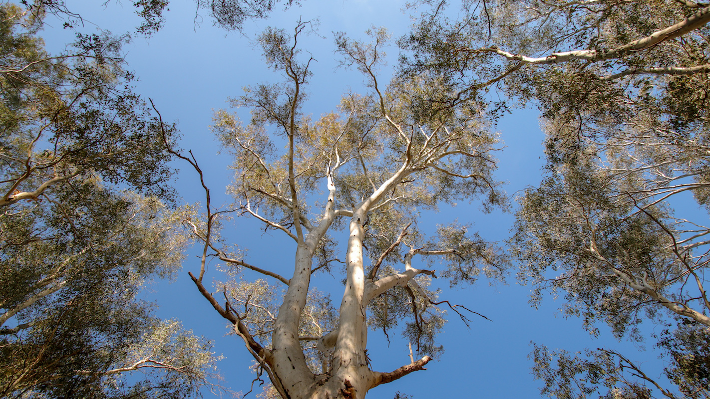 Tree tops in Barmah Forest © Kelly Coleman