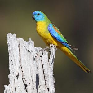 Turquoise Parrot © Chris Tzaros