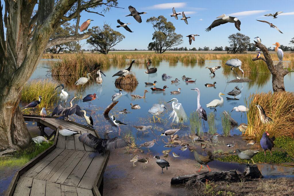 Wetland Birds NSW