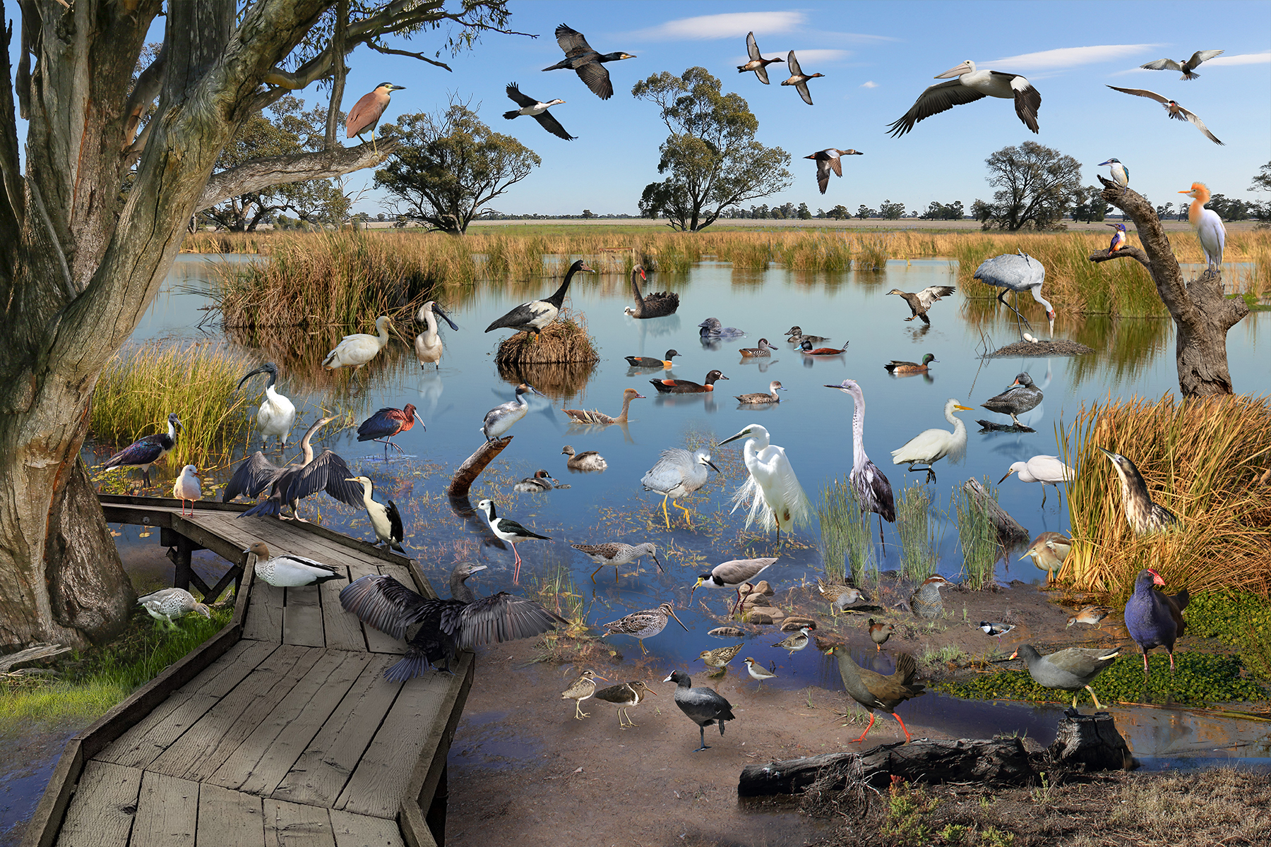 Wetland Birds NSW
