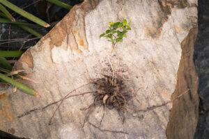 Weeds - Bridal Creeper